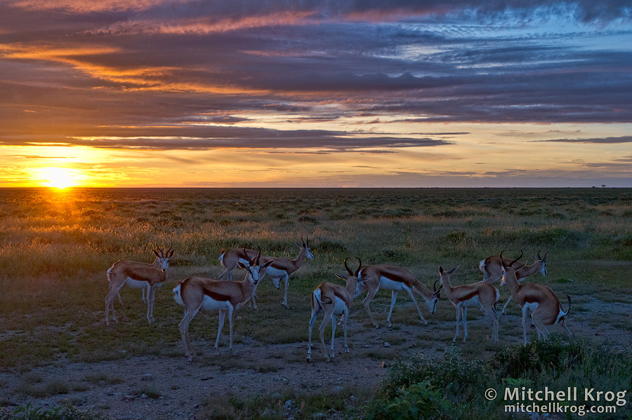 Photograph Springboks at Sunrise | Etosha National Park, Namibia by Mitchell Krog on 500px