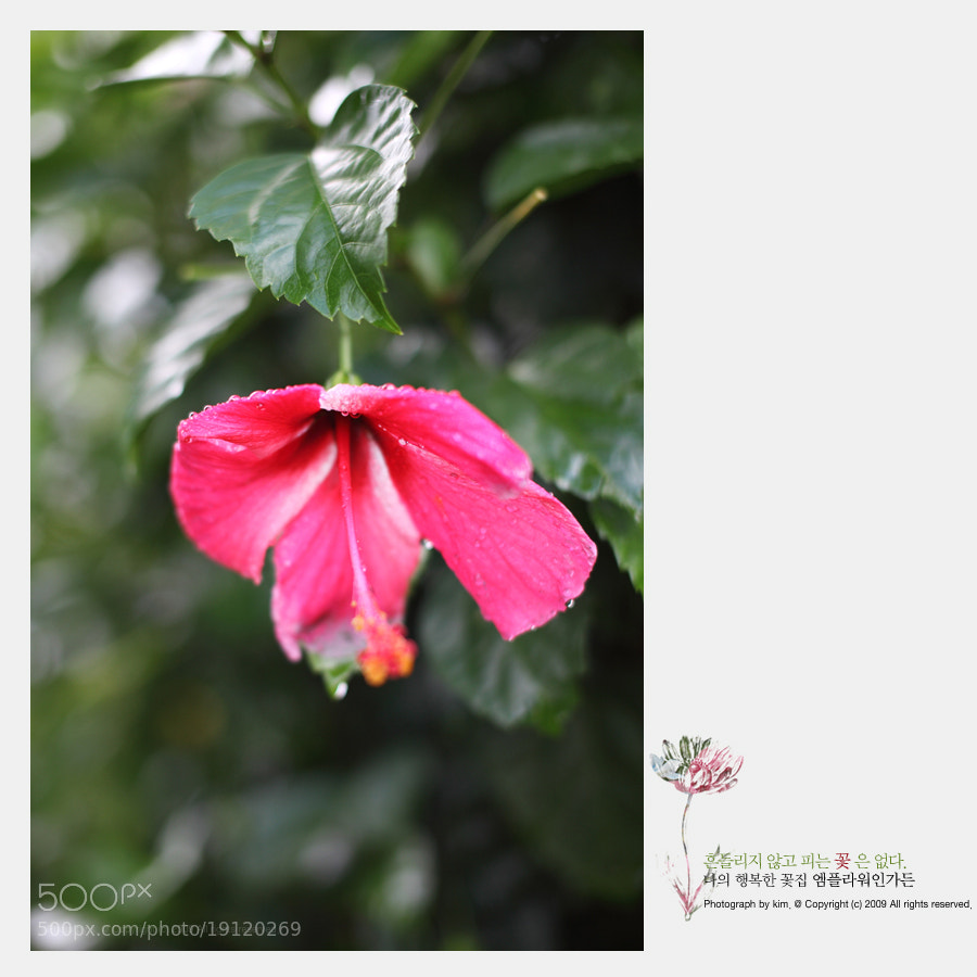 Photograph hibiscus by Kim DongYoung on 500px