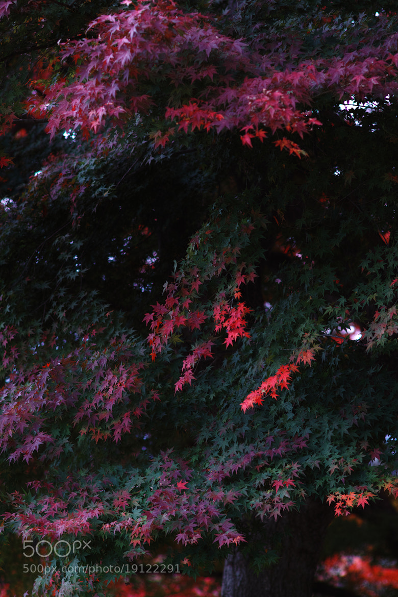 Photograph autumn colors *maple by keiichi ebina on 500px