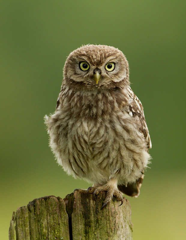 Photograph Little Owl by Dalia Kvedaraite on 500px