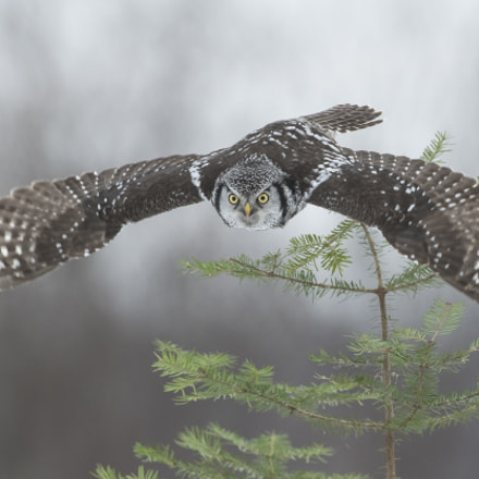northern hawk owl, Nikon D500, AF-S Nikkor 500mm f/4D IF-ED II