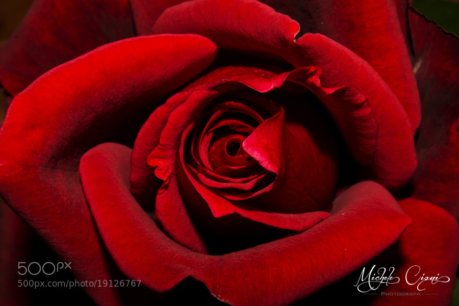 Photograph Rosa Rossa by Michele Cioni on 500px