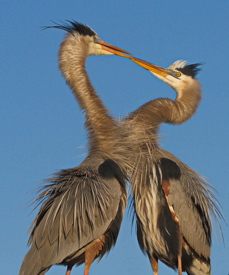 Photograph Heart of Great Blue Herons by Roberto Anil on 500px
