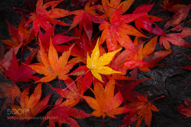 Photograph The Yellow Maple by Yoshitada Kurozumi on 500px