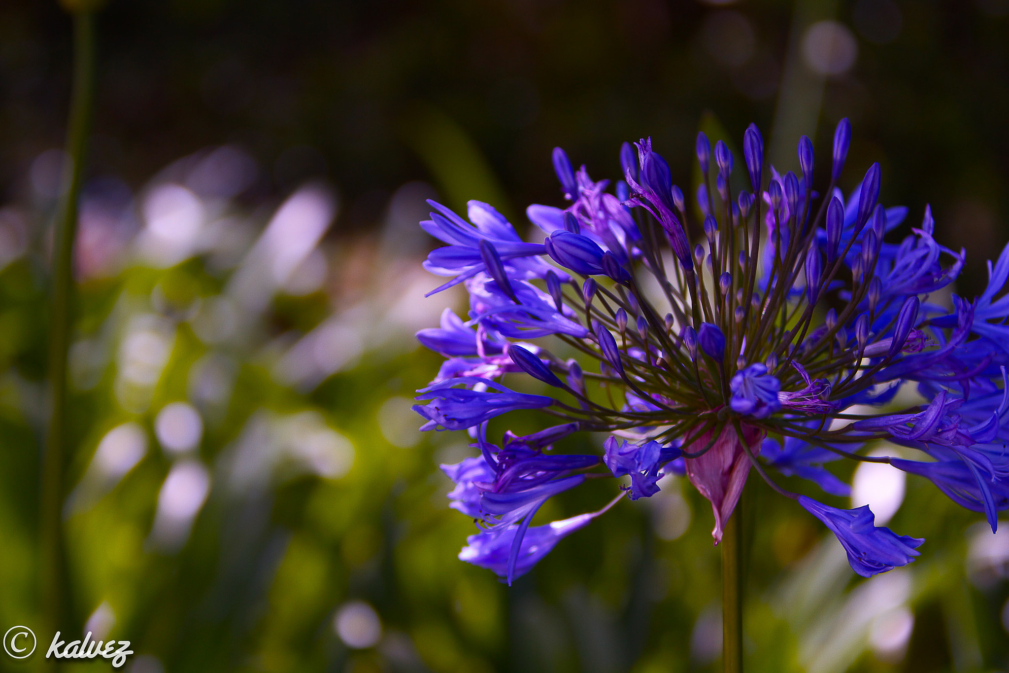 Photograph blue Flower by Carlos Alves on 500px