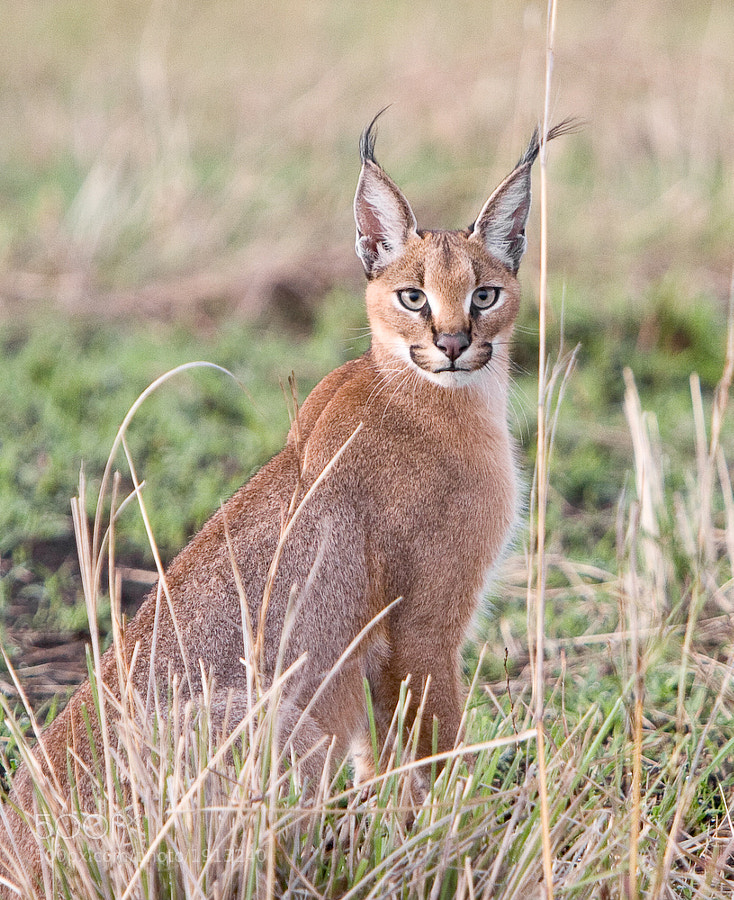 Photograph Caracal by WildFocus Images on 500px