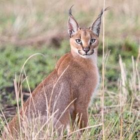 Caracal by WildFocus Images (wildfocusimages)) on 500px.com