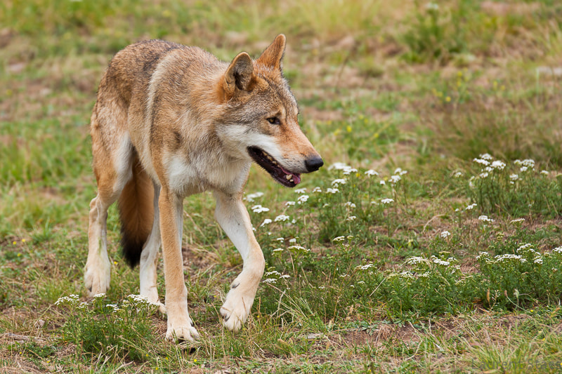 Photograph Wolf by Laurent Staes on 500px