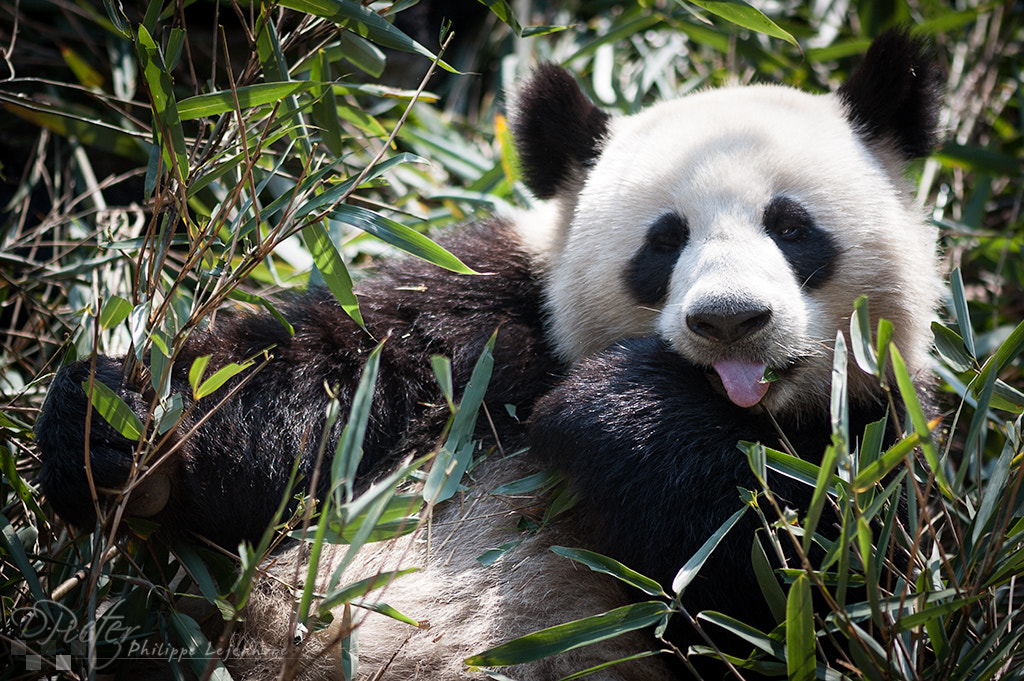 Photograph Giant Panda - Chengdu by Philippe Lejeanvre on 500px