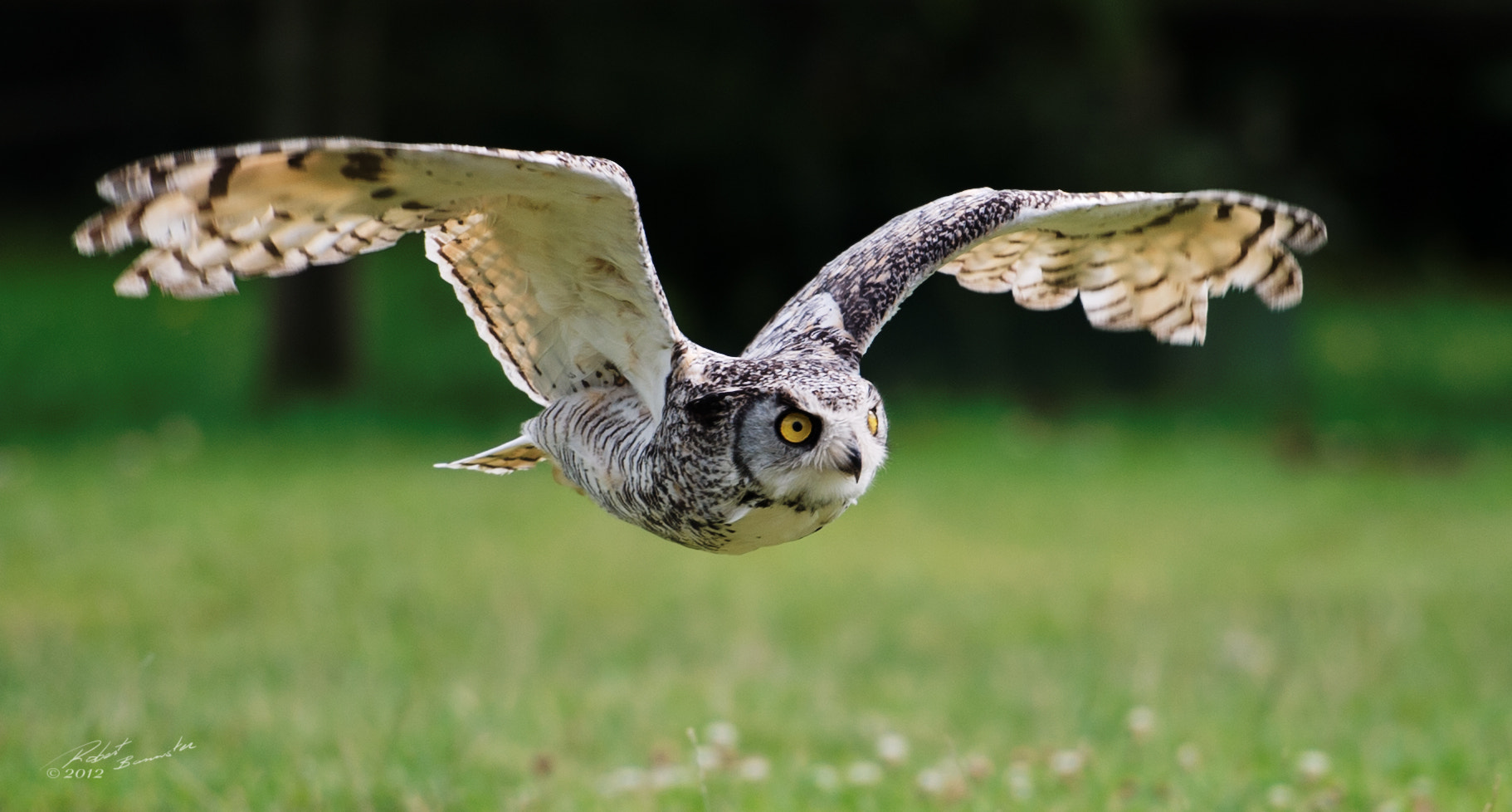 Photograph Barred Owl in flight by Rob Bannister on 500px