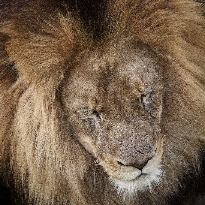 Photograph Lion by Iren Jacobson on 500px