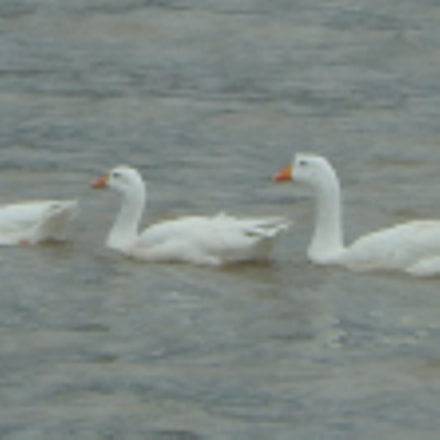 duck line in a, Nikon COOLPIX S9400