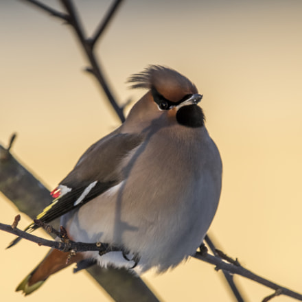 Bohemian Waxwing, Canon EOS-1D X MARK II, Canon EF 400mm f/4 DO IS