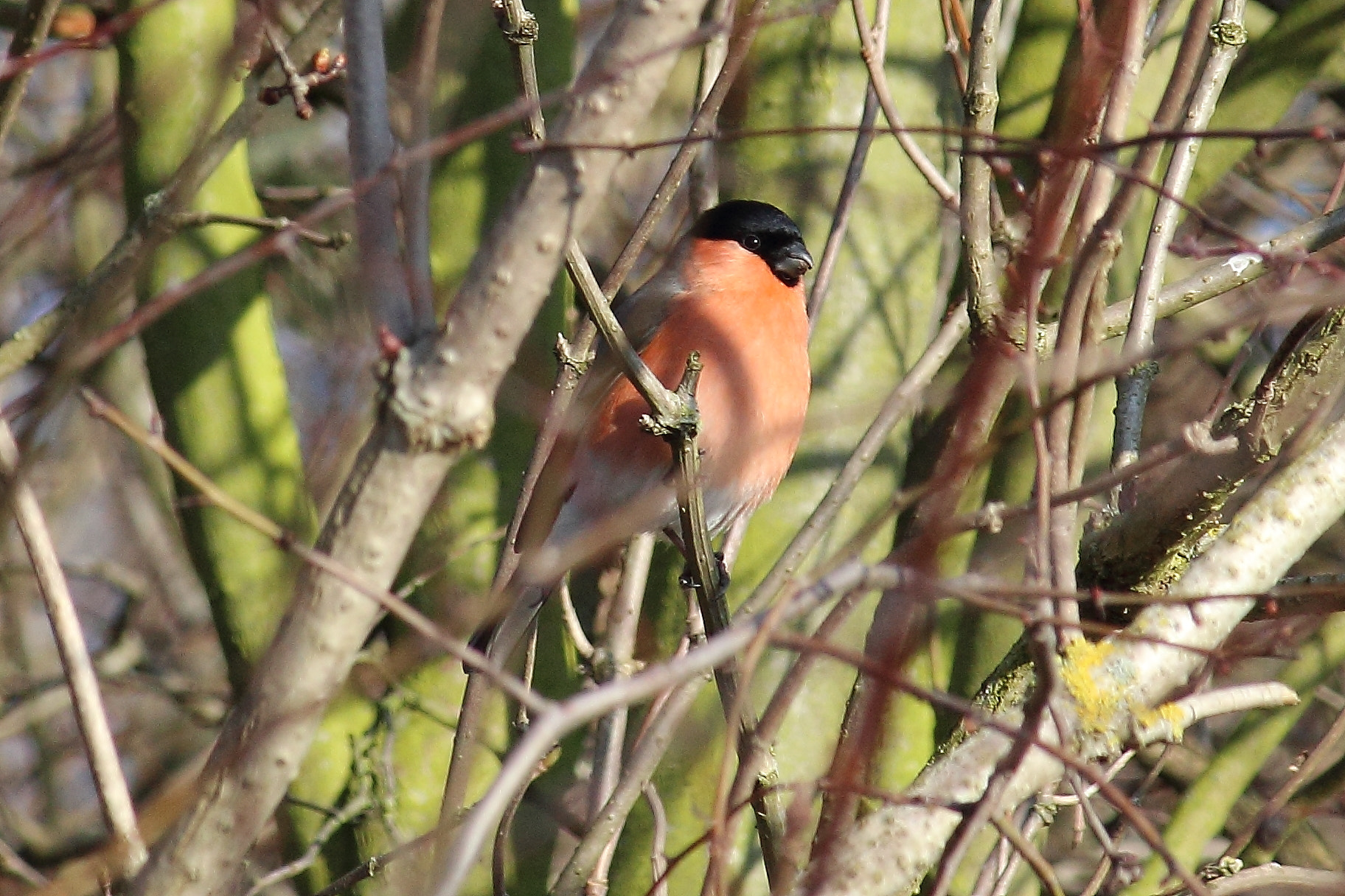 Photograph Bullfinch by mikepurvis on 500px