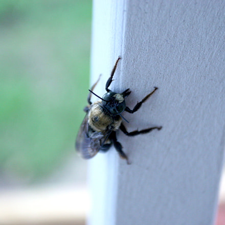 Resting Bee, Canon EOS 20D, Canon EF 17-40mm f/4L USM