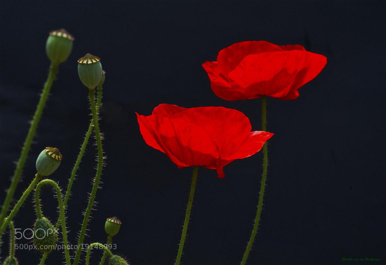 Photograph My Poppies by Martha van der Westhuizen on 500px