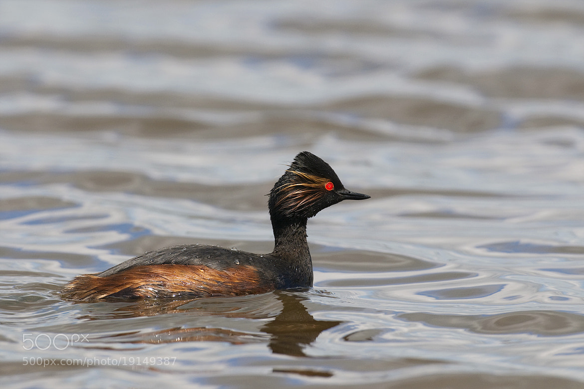 Photograph Black-necked Grebe by Wiel Arets on 500px