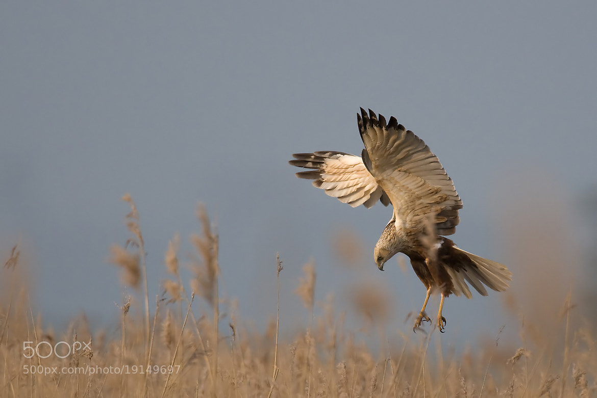 Photograph March Harrier by Wiel Arets on 500px