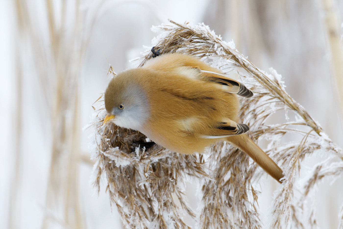 Photograph Bearded Reedling by Wiel Arets on 500px