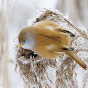 Bearded Reedling by Wiel Arets (warets)) on 500px.com
