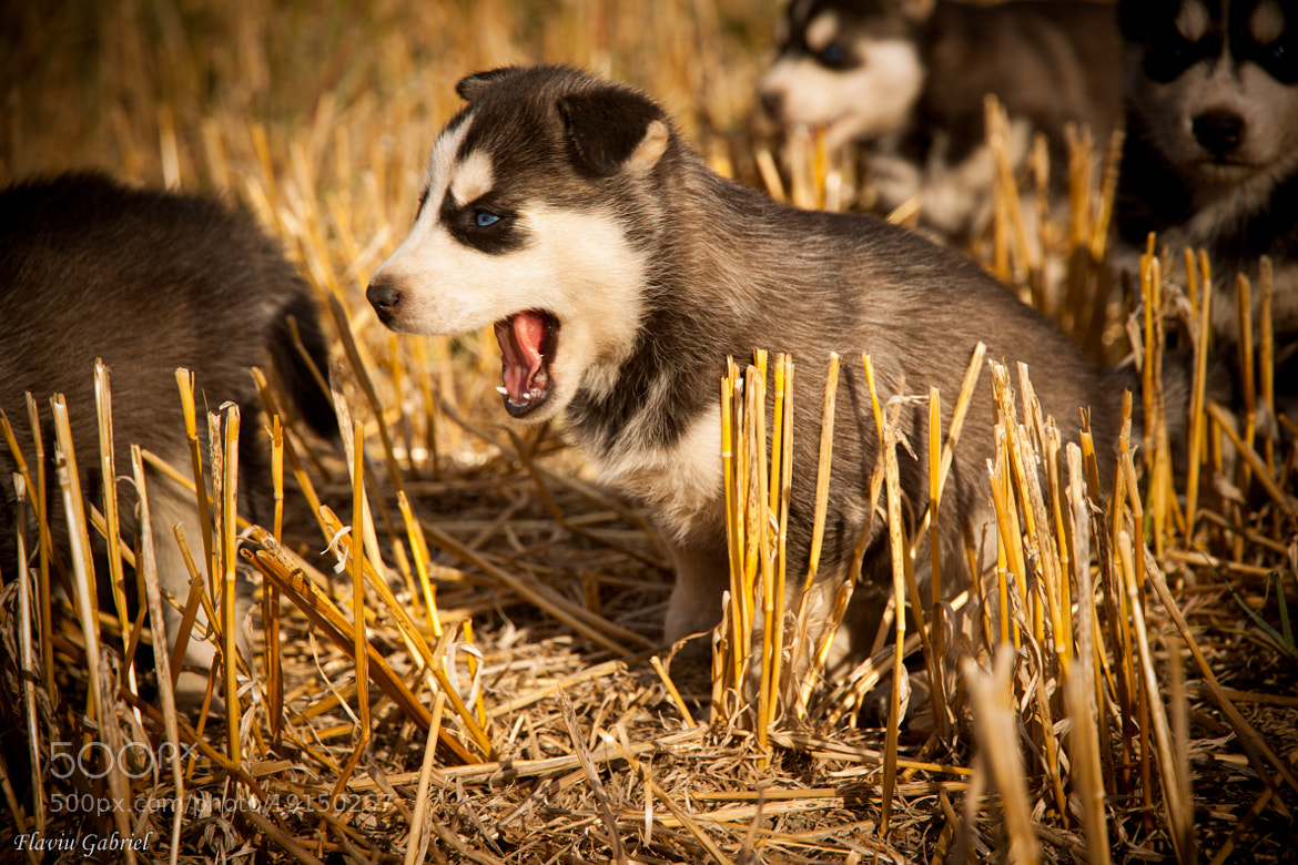 Photograph Puppies by Gabby Deac on 500px