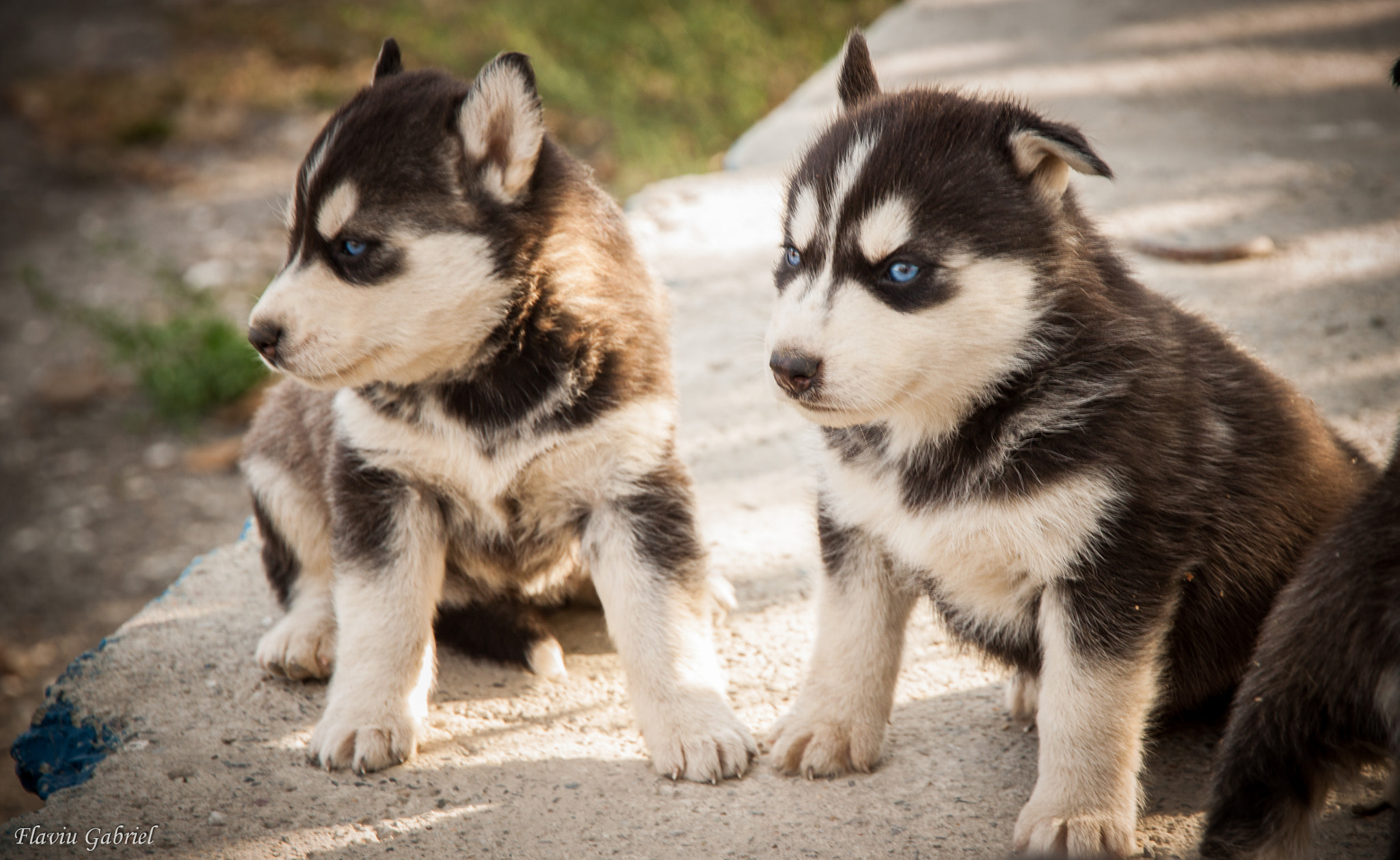 Photograph Husky Puppies by Gabby Deac on 500px