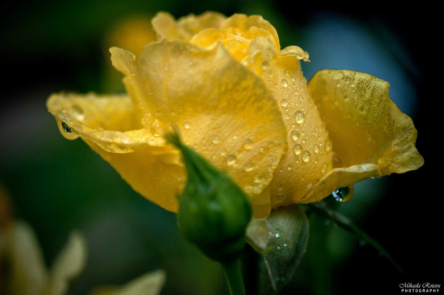 Photograph little rose by Mihaela Rotaru on 500px