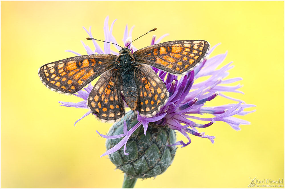 Photograph Melitaea aurelia by Karl Diewald on 500px