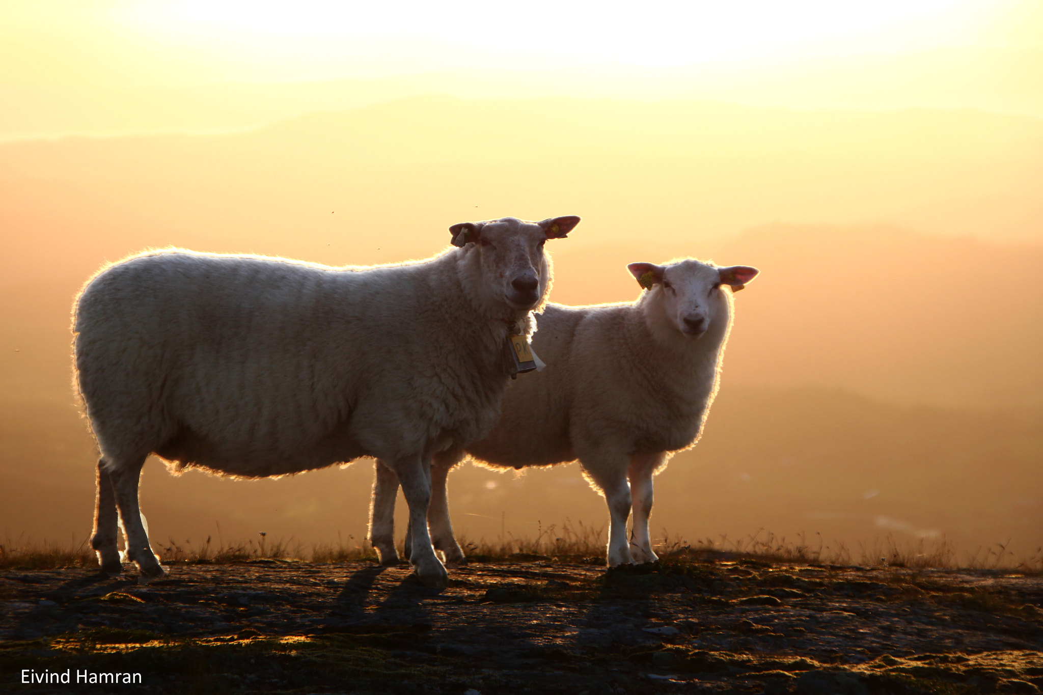 Photograph Sheeps in the sunset by Eivind Hamran on 500px