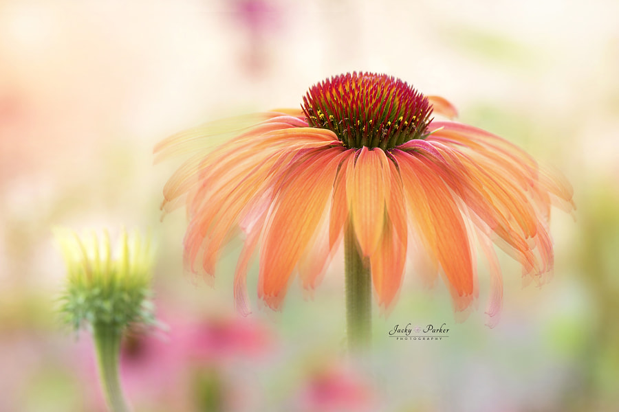 Echinacea Hot Summer by Jacky Parker on 500px.com