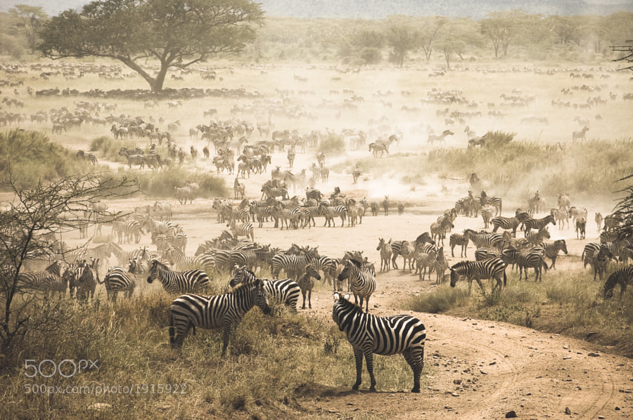 Photograph zebra migration by vaai on 500px