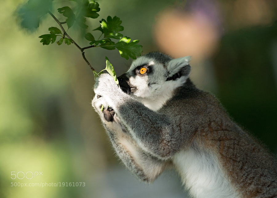 Photograph Lemur Cub by Henrik Vind on 500px