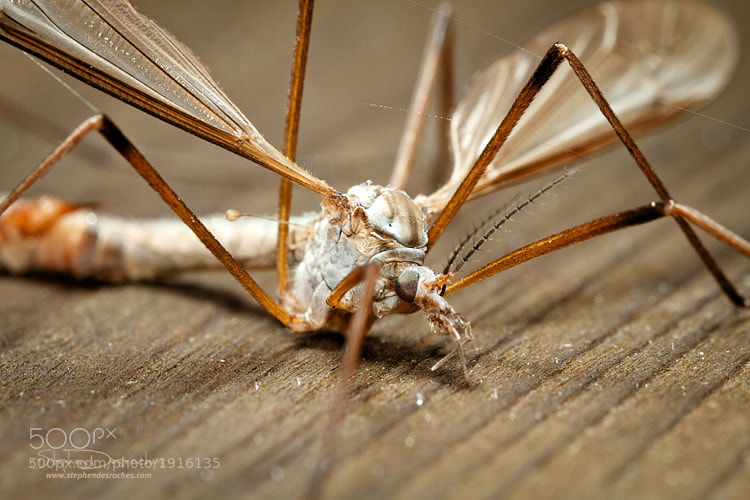 Photograph Daddy Long-Legs by Stephen DesRoches on 500px