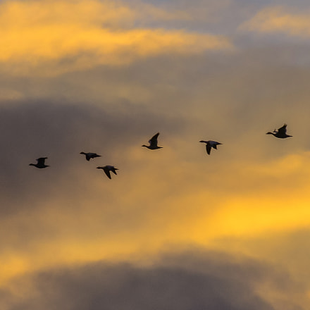 Canada Geese in a, Nikon D7000, Sigma APO 100-300mm F4 EX IF HSM