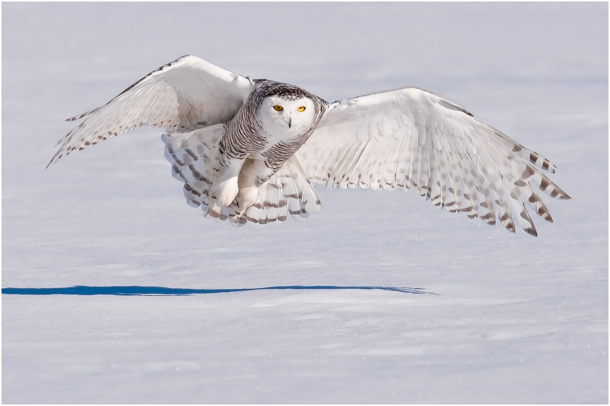 Photograph Snowy Owl by Pierre Giard on 500px
