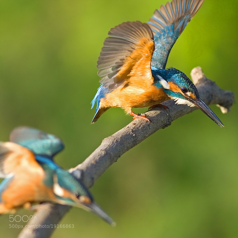 Photograph Common Kingfisher  by Young-Chul KIM on 500px