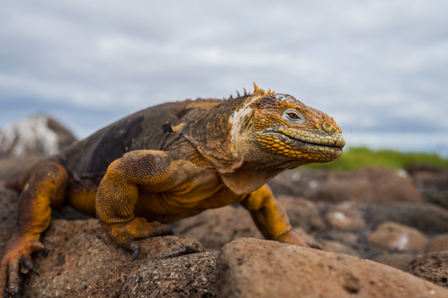 Iguana on Galapagos Island by Marko Dragoljevic on 500px.com