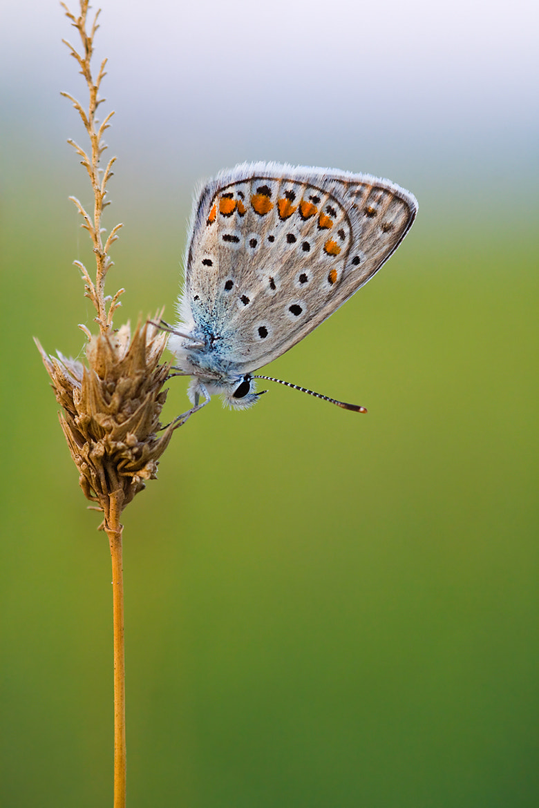 Photograph polyommatus icarus by Erhan Dayi on 500px