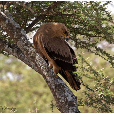 The Tawny Raptor!, Canon EOS-1D MARK IV, Canon EF 200-400mm f/4L IS USM