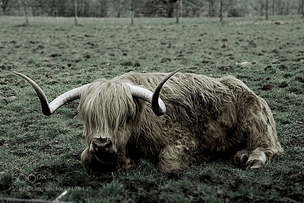 Photograph Highland Horn by A J R on 500px