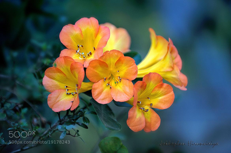 Photograph flowers smile bloom ! by Jakkaphan Hirunviriya on 500px