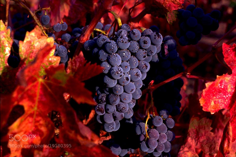 Photograph Zinfandel Grapes by David Ryan on 500px