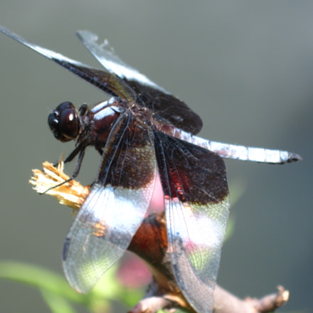 Dragonfly Close-up on flower, Canon POWERSHOT A1100 IS