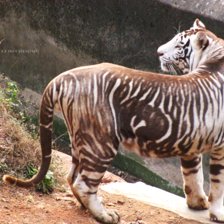 Melanistic Tiger, Canon POWERSHOT A4000 IS