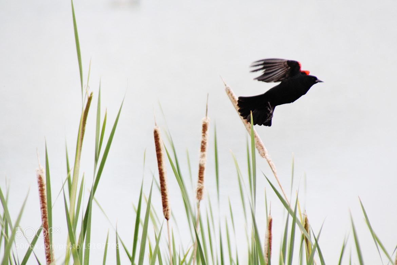 Photograph Red Winged Black Bird by Ryan Dean Kitibutr on 500px