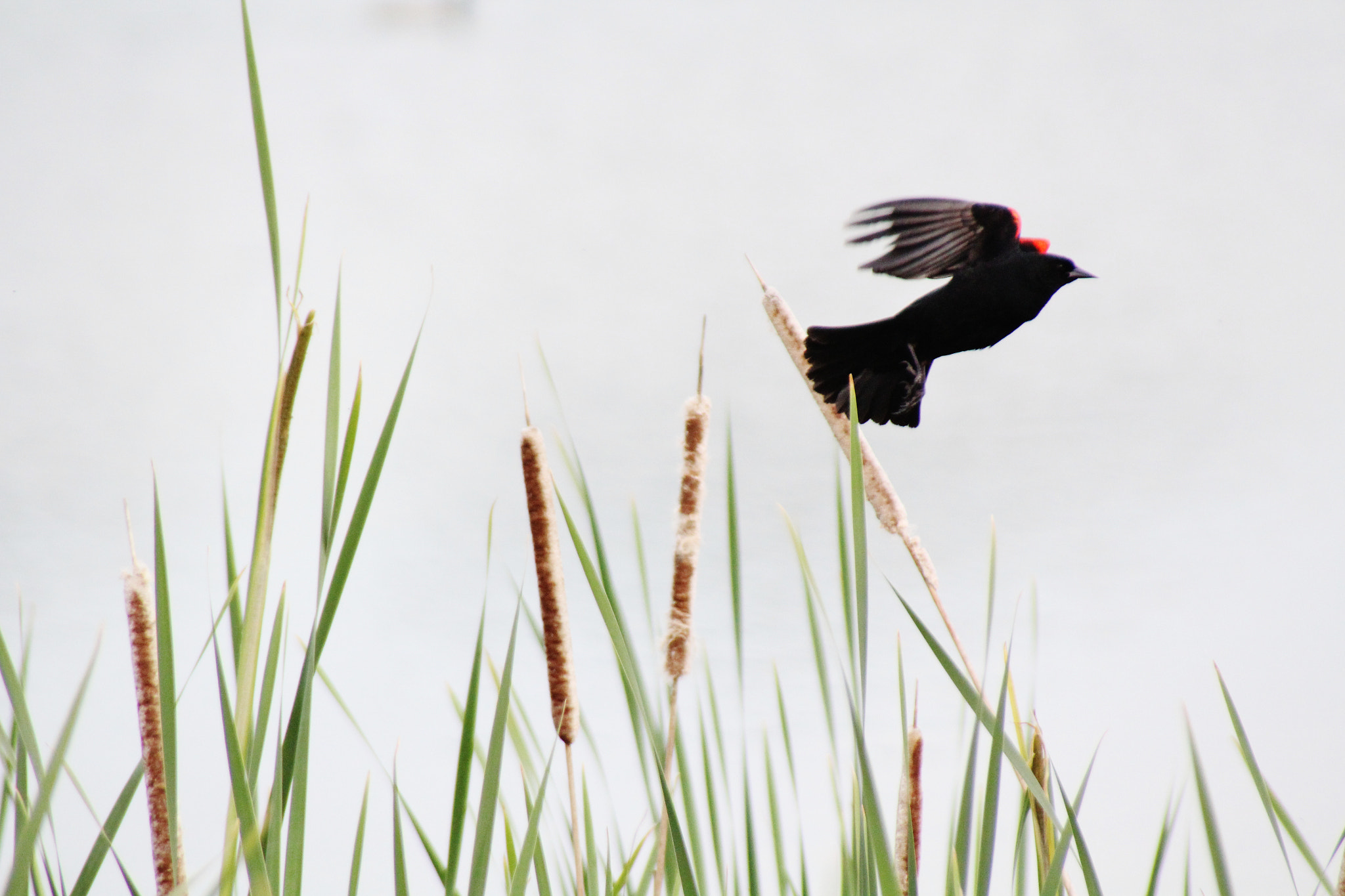 Photograph Red Winged Black Bird by Ryan Dean Kitibutr on 500px