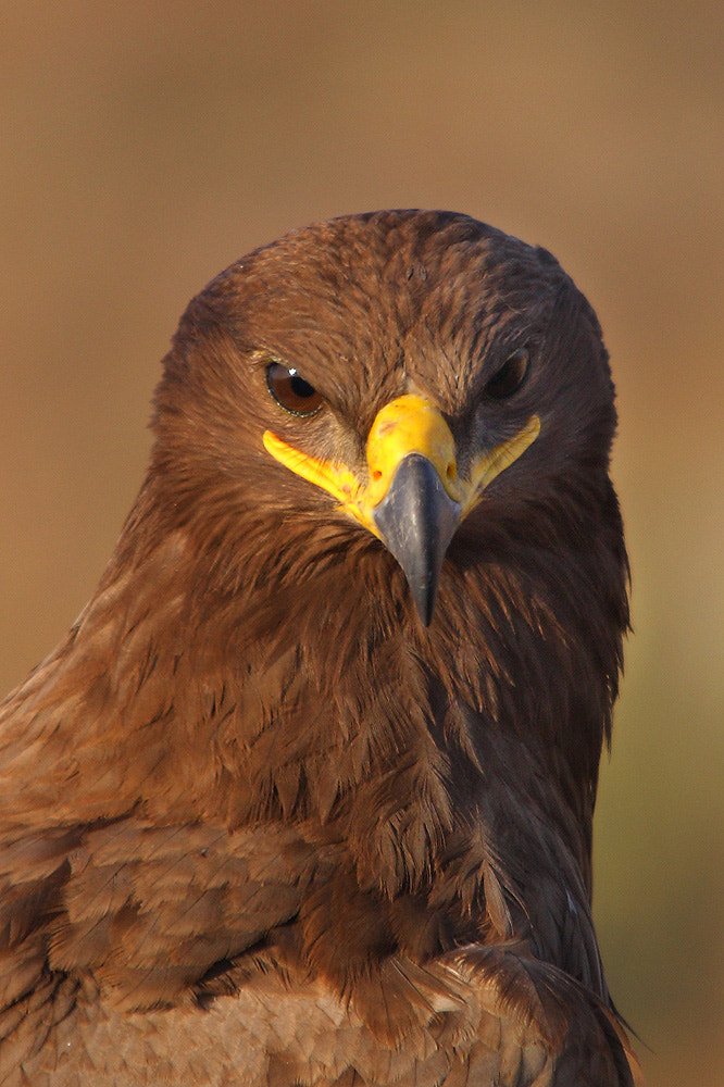 Photograph Attitude .. Steppe Eagle  by Sharad Agrawal on 500px