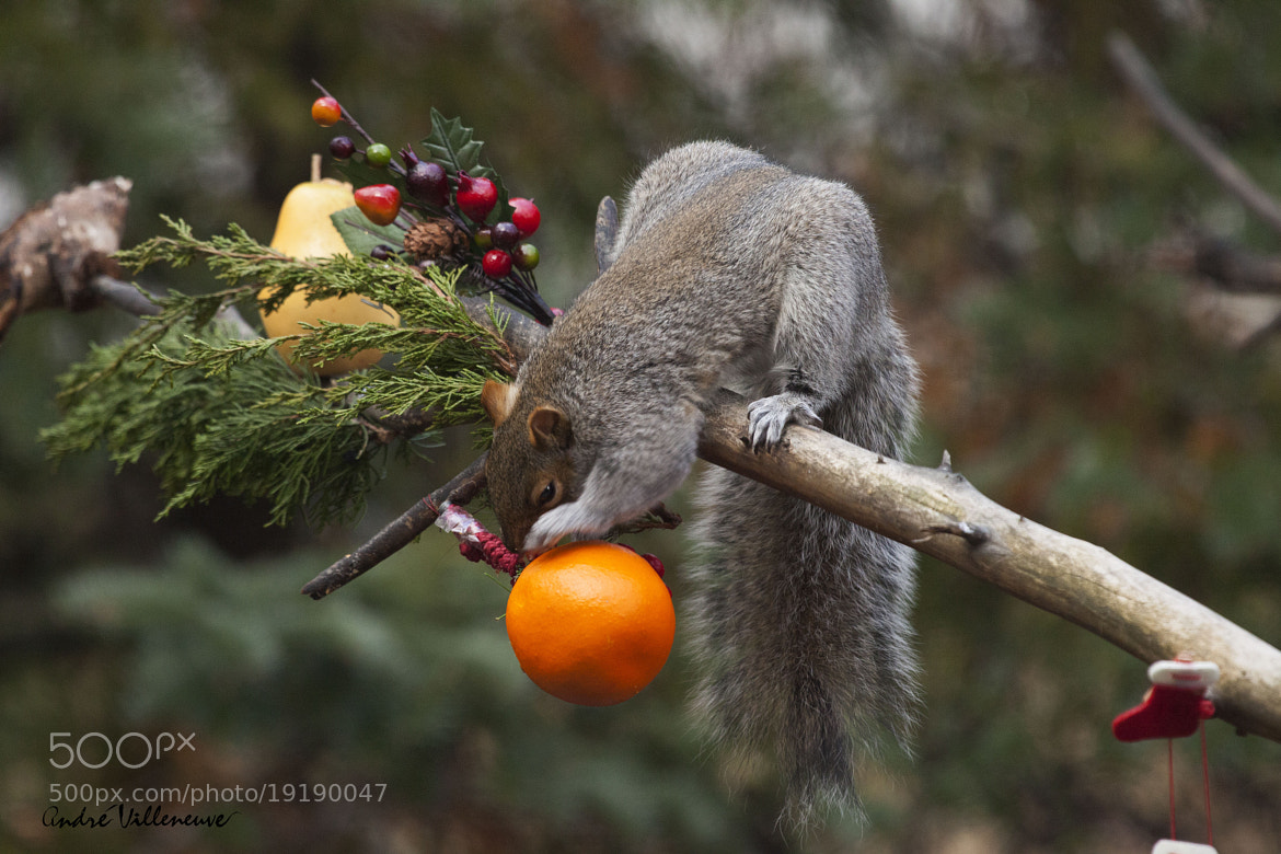 Photograph One orange in a pear tree by Andre Villeneuve on 500px