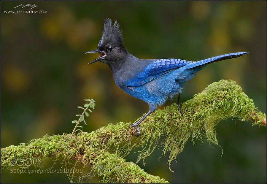 Photograph Steller's Jay by Jess Findlay on 500px