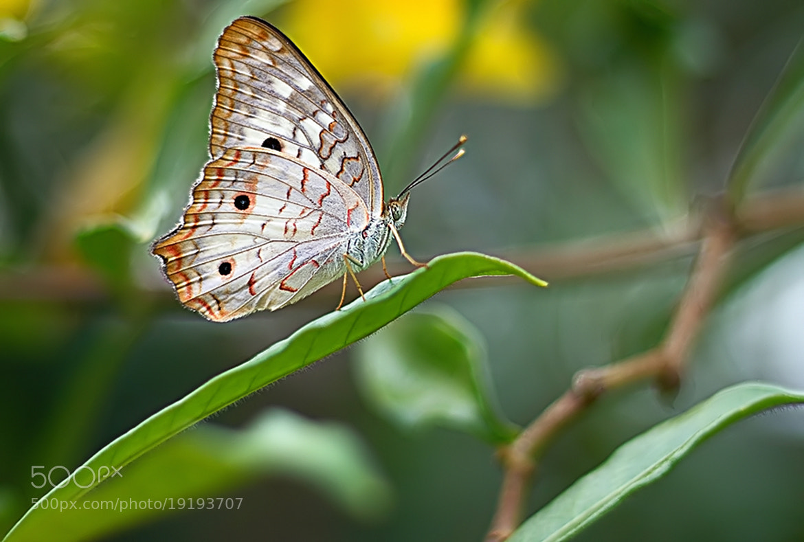 Photograph White Peacock Butterfly by  Soli Rocha on 500px